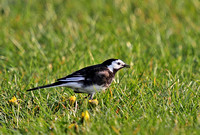 Pied-Wagtail-2