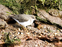 Spotted-Sandpiper8