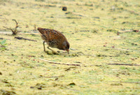 Spotted-Crake_0789