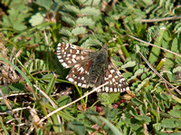 Grizzled-Skipper