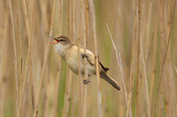 Great-Reed-Warbler-1