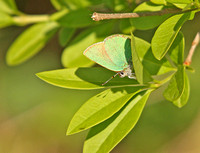 Green-Hairstreak1