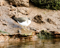 Spotted-Sandpiper5