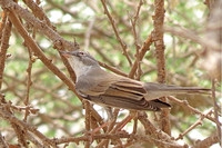 Whitethroat_3003