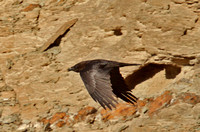 Brown-Necked-Raven-1
