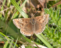 Dingy-Skipper4