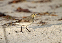 White-Wagtail6979