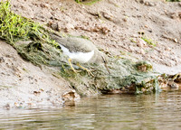 Spotted-Sandpiper1