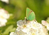 Green-Hairstreak6