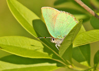 Green-Hairstreak3