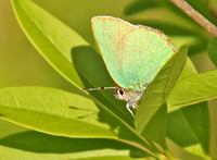Green-Hairstreak4