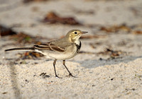 White-Wagtail6978