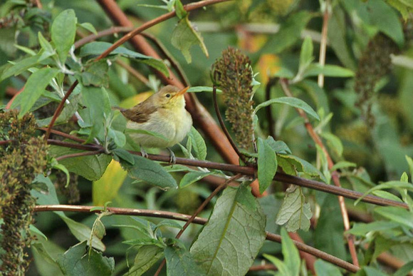 Melodious Warbler 0618