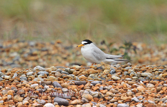 Little-Tern_8600