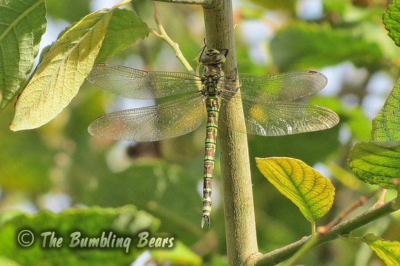 Southern-Hawker_1601