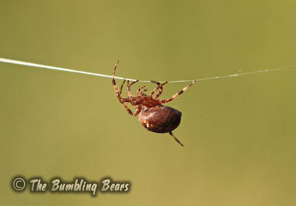 Garden-Cross-Spider_9449