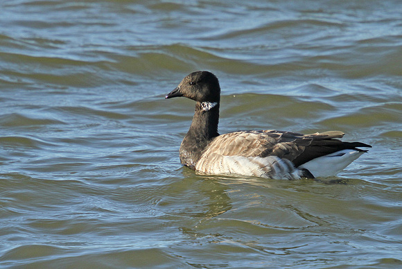 Pale-bellied-Brent Goose_3205