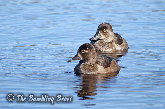 Ring-Necked-Duck_3376