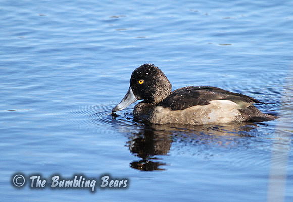 Ring-Necked-Duck_3383