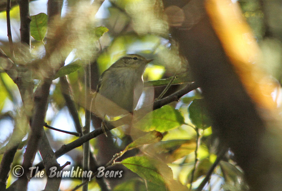 Hume's-Leaf-Warble_3344