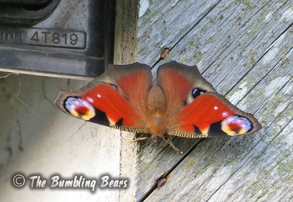 Peacock-Butterfly0263
