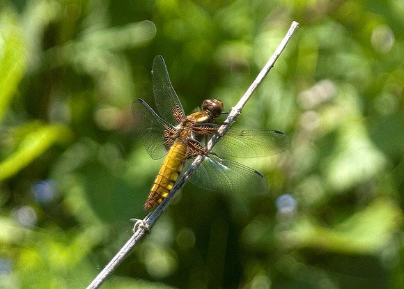 Broad-bodied-Chaser