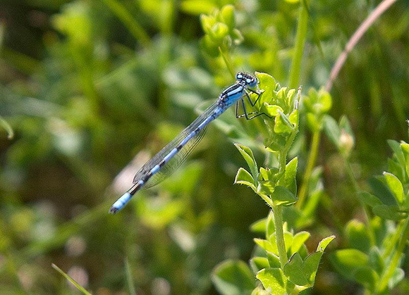 Common-Blue-Damselfly1