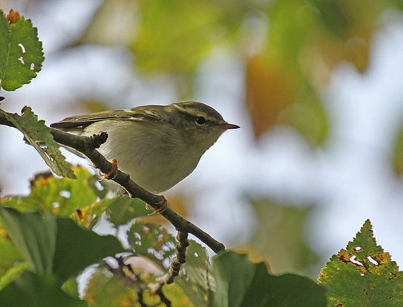 Yellow-browed-Warbler9