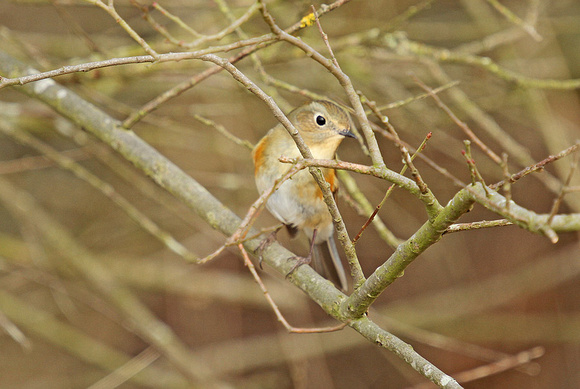 Red-flanked-Bluetail_1289