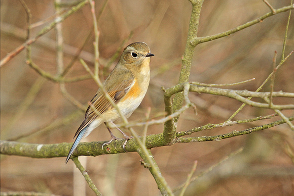 Red-flanked-Bluetail_1311