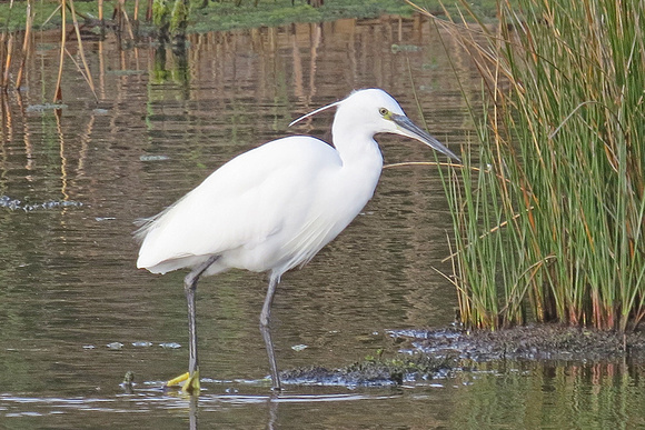 Little-Egret_6595