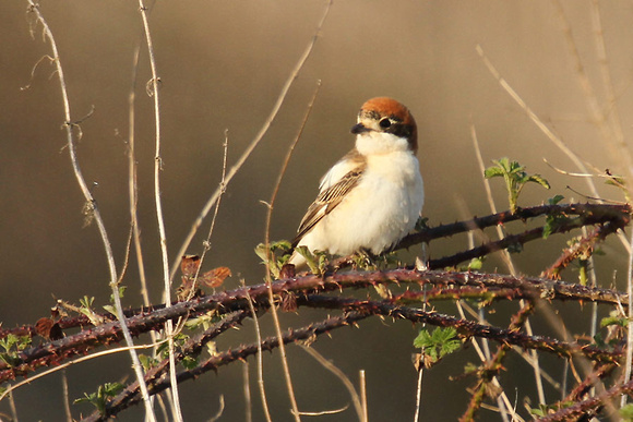 Woodchat-Shrike_2624