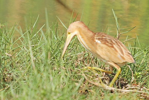 Yellow-Bittern_7234