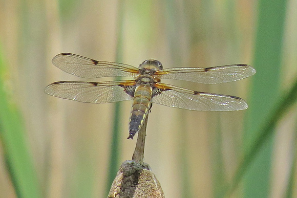Broad-bodied-Chaser_3037Reo