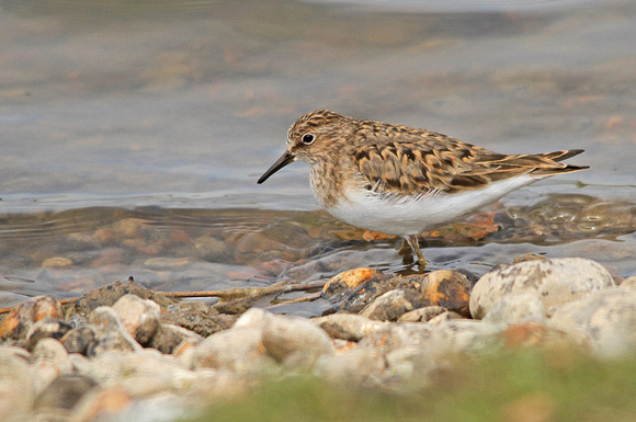 Temminck's-Stint_26-05-13-189