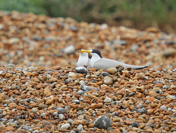 Little-Tern-Dummy_8609