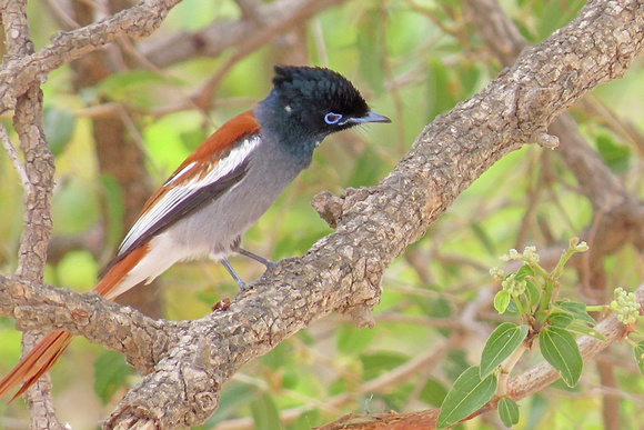 African-Paradise-Flycatcher_4766