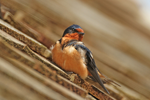 Barn-Swallow_4194