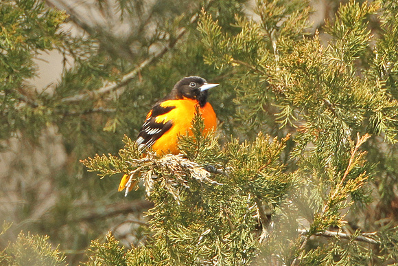 Baltimore-Orioles_3456