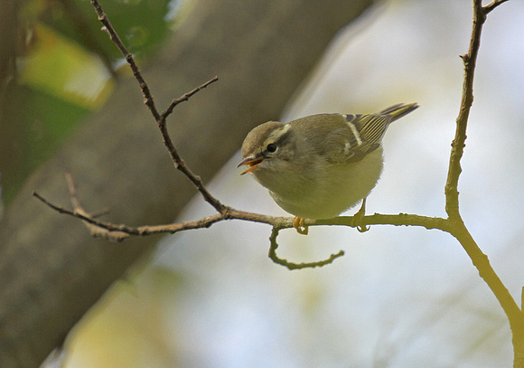 Yellow-browed-Warbler2