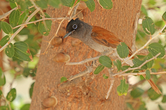 African-Paradise-Flycatcher_7812