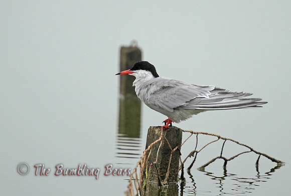 Common-Tern_8792