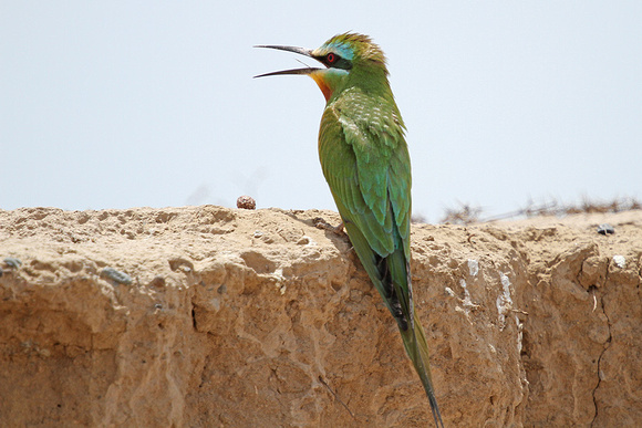 Blue-cheeked-Bee-eater_3733