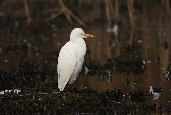 Cattle-Egret-15