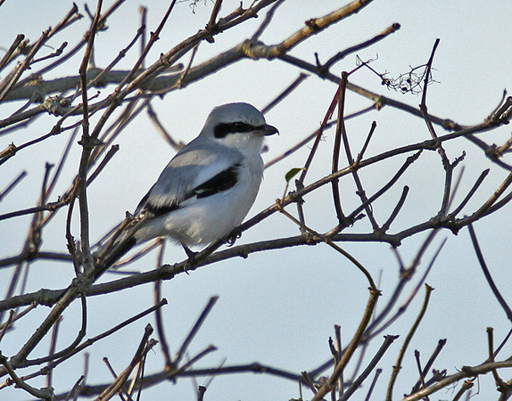 Great-grey-Shrike13