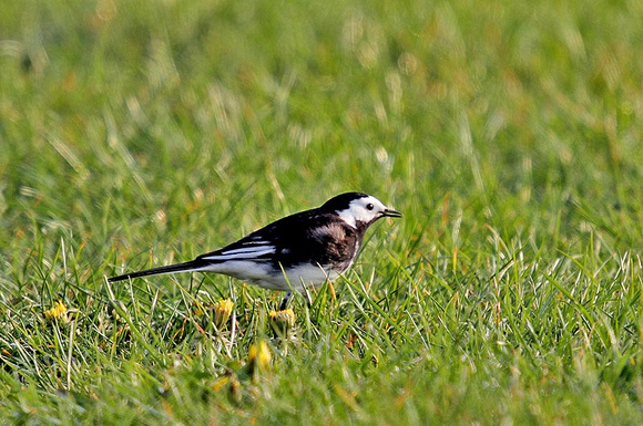 Pied-Wagtail-1