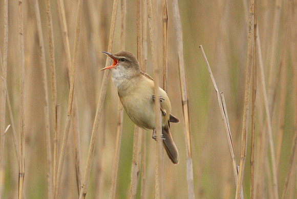 Great-Reed-Warbler-2