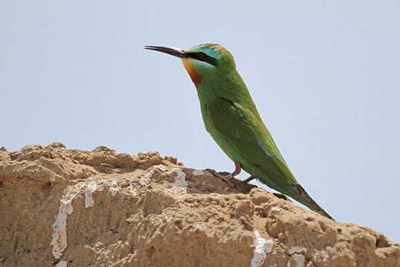 Blue-cheeked-Bee-eater_3707