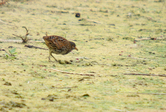 Spotted-Crake_0785