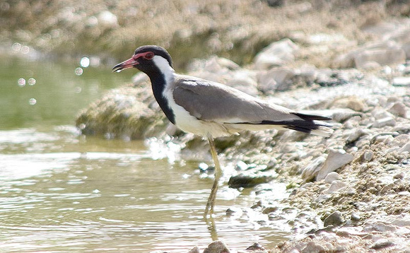 Red-wattled-Lapwing3
